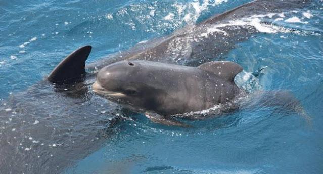 «Большинство уже погибли»: около 300 дельфинов застряли на мелководье в Австралии