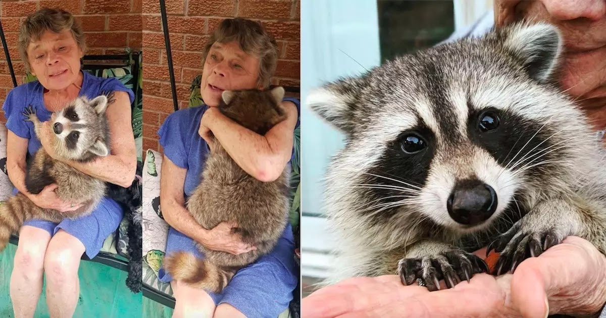 Woman Saves Baby Raccoon And He Keeps Coming Back To Visit Her 3 Years Later
