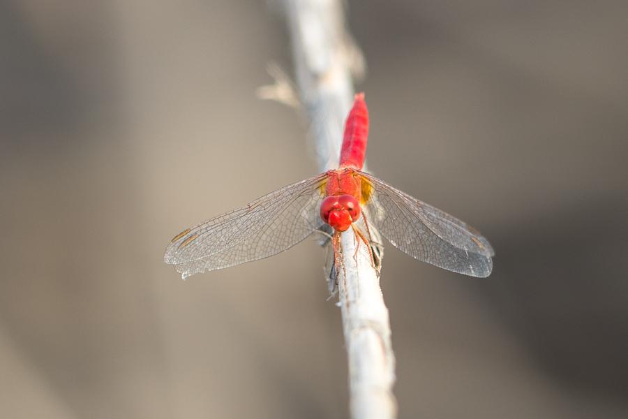 Carmine Darter - Crocothemis erythraea