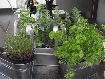 Cultivar hierbas aromáticas. Macetas con plantas.