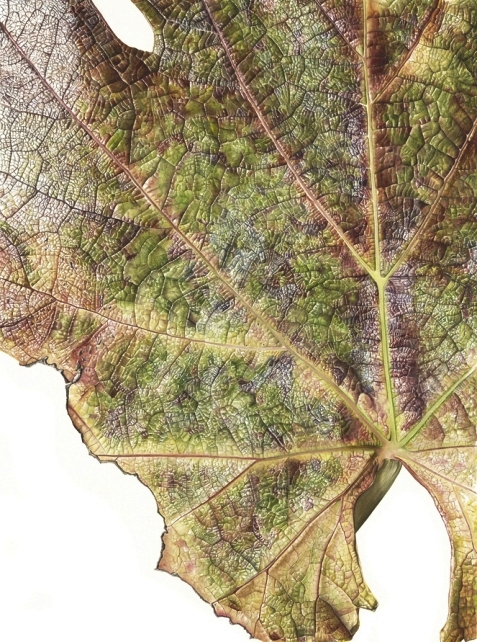 Botanical illustration of Vitis vinifera by Inky Leaves