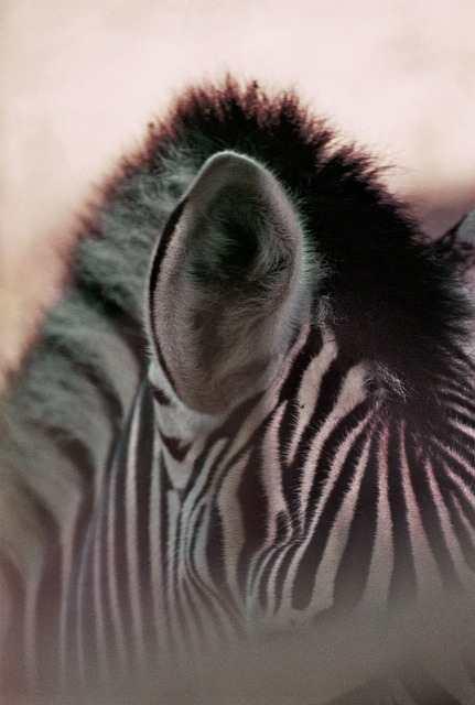 zebra ear fact in hindi