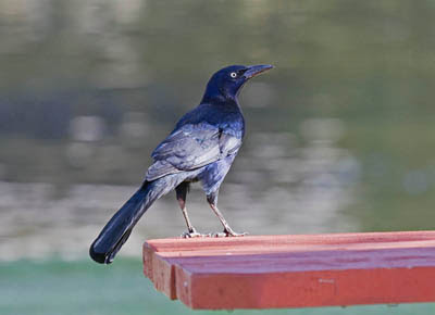 Photo of a male Great-tailed Grackle on a red wood picnic table