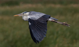 PiedLow flying grey heron - Woodbridge Island Vernon Chalmers Photography