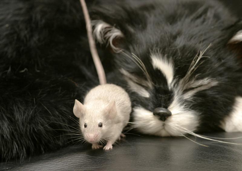 кот и мыши картинки фото подготовки участка