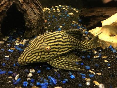 Ikan Sapu-Sapu Panaque cf. nigrolineatus ( Pleco Watermelon L330 )