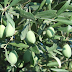 BIBLIJSKA BILJKA PUCA ZDRAVLJEM: Skuhajte čaj od suhih maslinovih grančica i ozdravite od teških bolesti!