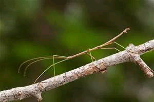 is the walking stick insect poisonous|complete detail|