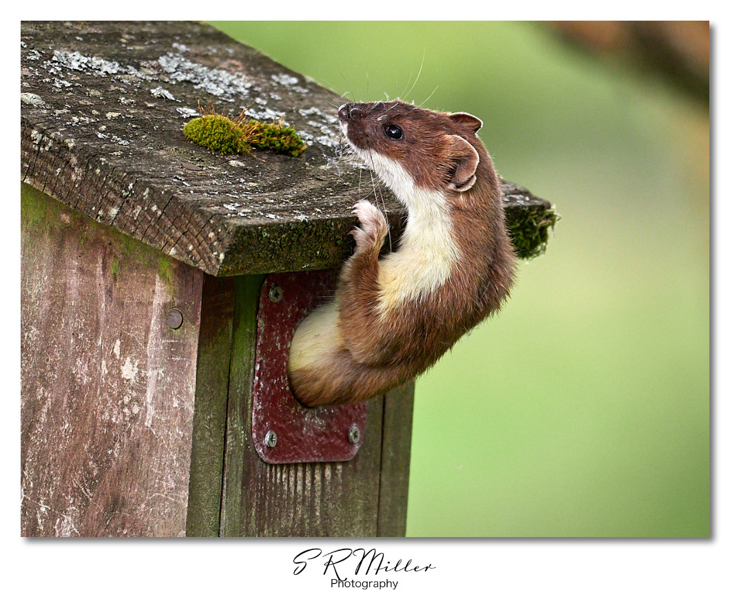 Stoat exiting nest box