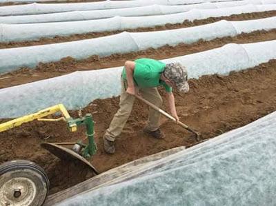 pengolahan lahan buah tomat