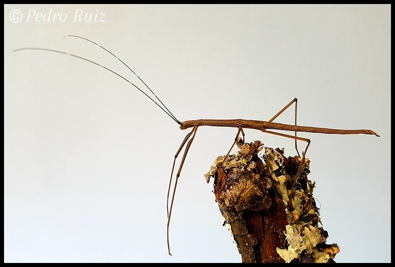 "Ninfa hembra L6 de Lamachodes sp. ""Bokor"", 7 cm de longitud"