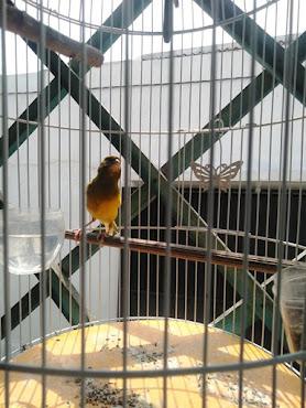 Jual Burung Kenari Warna Kuning Hitam - Gacor Plus Kurungan Besi
