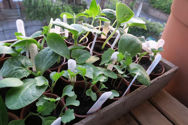 Tray of seedlings on a balcony ledge