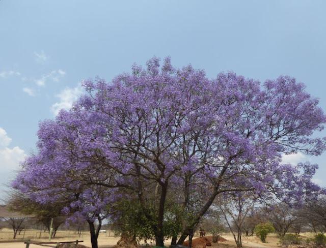 Jacaranda Mimosifolia in Namibia