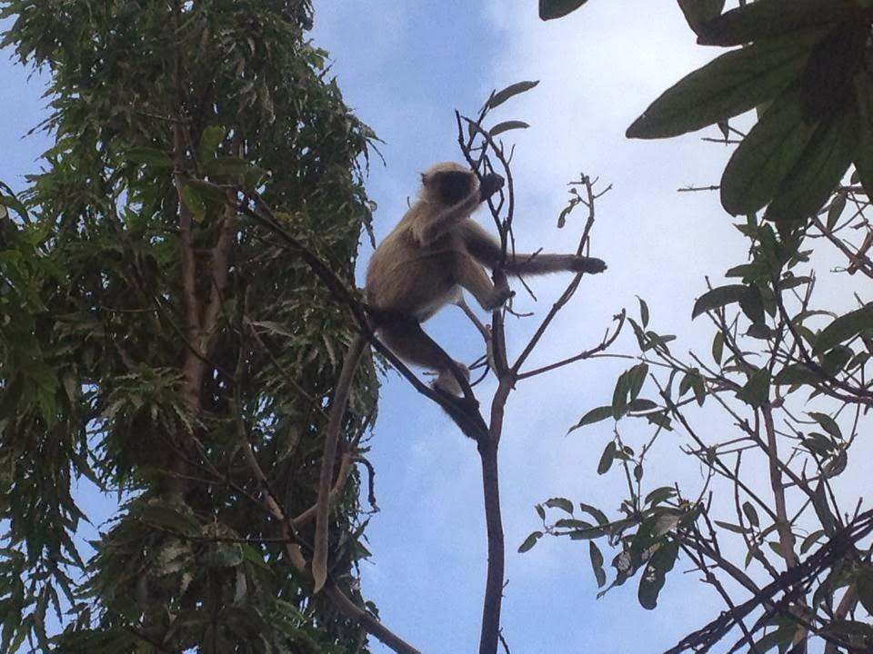 stunt of monkey at junagadh