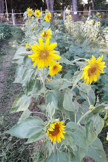 sunflower, sunflower garden, CLSU, Holy Week, summer