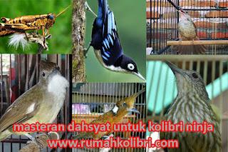 masteran kolibri ninja