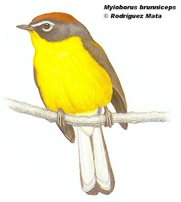 Arañero corona rojiza Myioborus brunniceps