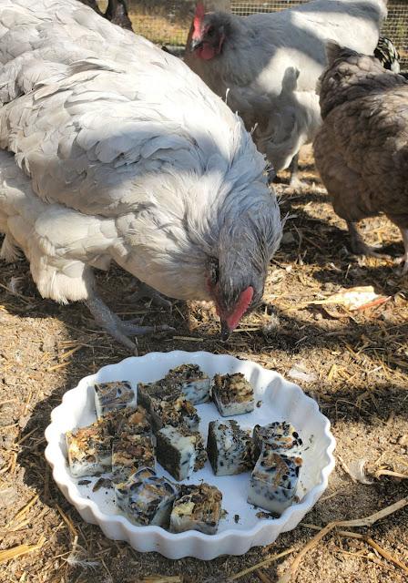 chicken eating treats