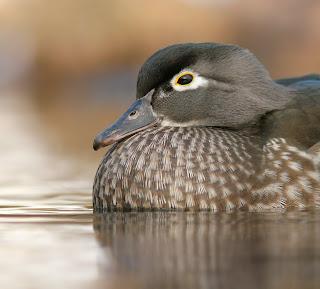 Wood Duck, Newfoundland