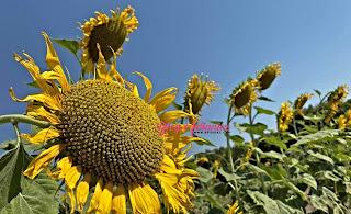 Part 4 | Ladang bunga matahari di Lop Buri