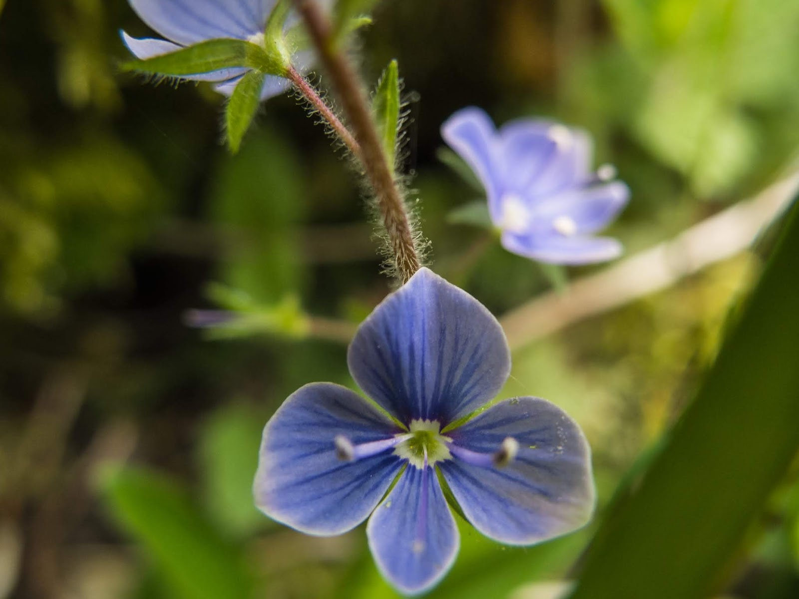 A macro image of a tiny blue Veronica Chamaedrys wildflower.