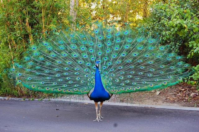 Güzelliğiyle Tüm Dünyayı Büyüleyen En Dünyanın En Güzel Kuşları - Tavus Kuşu - Kurgu Gücü