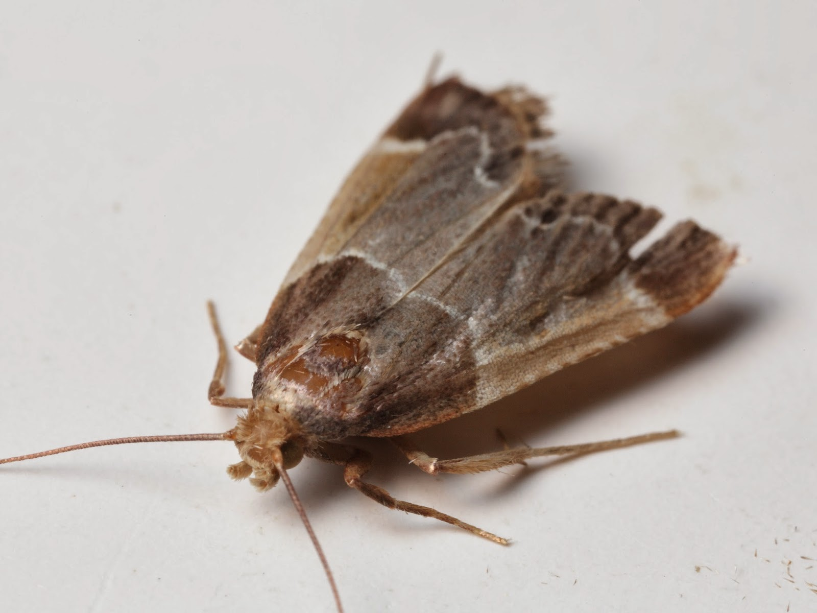 flying brown bugs in house - photo #4