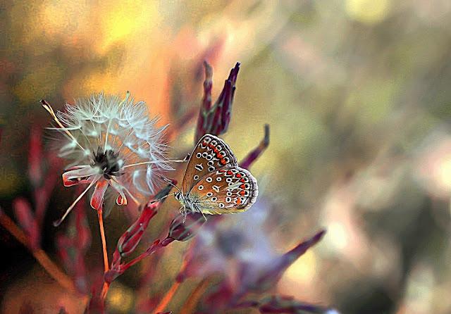 dmuchawiec,motyl