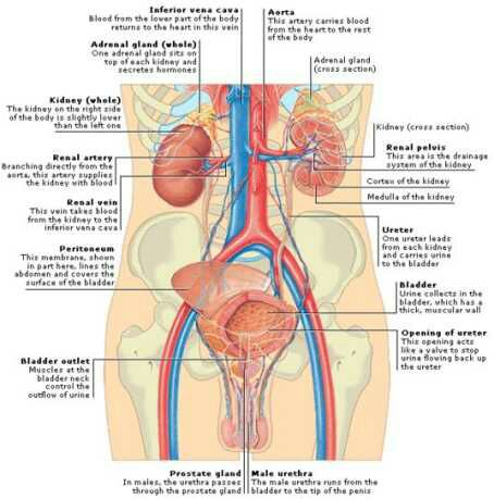 Renal system,organs of the renal system