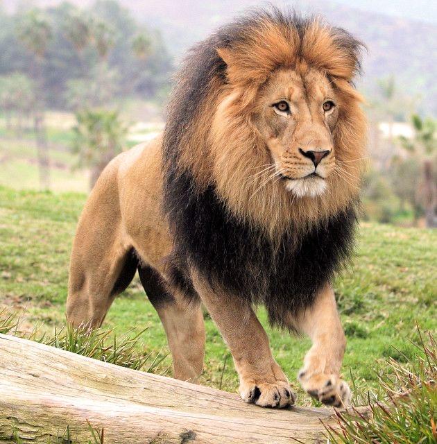 Leão   Panthera leo