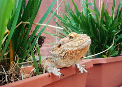 Facts about the bearded dragon