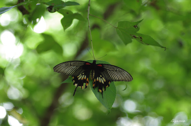 雞南山的大鳳蝶