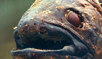 Studi Baru Mengungkap, Coelacanth Bukanlah Fosil Hidup