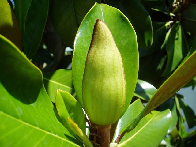 magnolio-magnolia-grandiflora