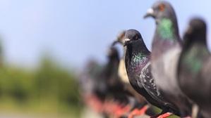 Controle contra infestação de Pombos