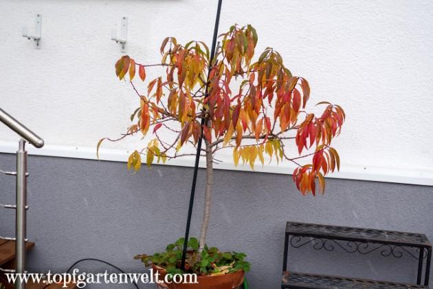 selbstgezogener Weinbergpfirisch etwa 8 Jahre alt - Gartenblog Topfgartenwelt