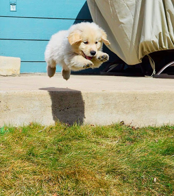 Flying Golden Retriever Puppy