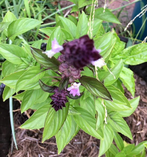 Photograph of basil with purple flowers