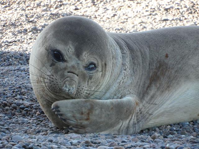 Visitar PUNTA NINFAS, o melhor local do mundo para ver elefantes marinhos | Argentina