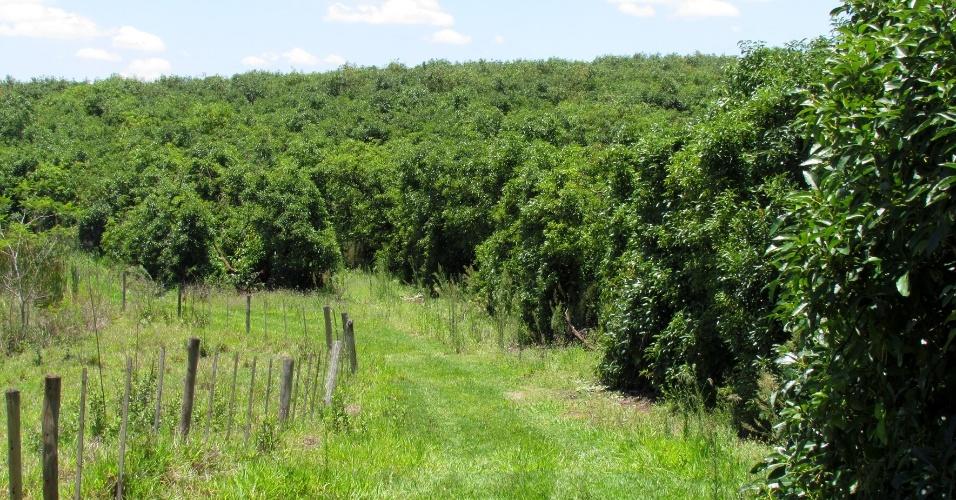 Resultado de imagem para floresta abacate