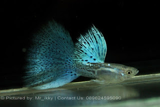Jual Guppy Blue Taiwan,  Harga Guppy Blue Taiwan,  Toko Guppy Blue Taiwan,  Diskon Guppy Blue Taiwan,  Beli Guppy Blue Taiwan,  Review Guppy Blue Taiwan,  Promo Guppy Blue Taiwan,  Spesifikasi Guppy Blue Taiwan,  Guppy Blue Taiwan Murah,  Guppy Blue Taiwan Asli,  Guppy Blue Taiwan Original,  Guppy Blue Taiwan Jakarta,  Jenis Guppy Blue Taiwan,  Budidaya Guppy Blue Taiwan,  Peternak Guppy Blue Taiwan,  Cara Merawat Guppy Blue Taiwan,  Tips Merawat Guppy Blue Taiwan,  Bagaimana cara merawat Guppy Blue Taiwan,  Bagaimana mengobati Guppy Blue Taiwan,  Ciri-Ciri Hamil Guppy Blue Taiwan,  Kandang Guppy Blue Taiwan,  Ternak Guppy Blue Taiwan,  Makanan Guppy Blue Taiwan,  Guppy Blue Taiwan Termahal,  Adopsi Guppy Blue Taiwan,  Jual Cepat Guppy Blue Taiwan,  Guppy Blue Taiwan  Jakarta,  Guppy Blue Taiwan  Bandung,  Guppy Blue Taiwan  Medan,  Guppy Blue Taiwan  Bali,  Guppy Blue Taiwan  Makassar,  Guppy Blue Taiwan  Jambi,  Guppy Blue Taiwan  Pekanbaru,  Guppy Blue Taiwan  Palembang,  Guppy Blue Taiwan  Sumatera,  Guppy Blue Taiwan  Langsa,  Guppy Blue Taiwan  Lhokseumawe,  Guppy Blue Taiwan  Meulaboh,  Guppy Blue Taiwan  Sabang,  Guppy Blue Taiwan  Subulussalam,  Guppy Blue Taiwan  Denpasar,  Guppy Blue Taiwan  Pangkalpinang,  Guppy Blue Taiwan  Cilegon,  Guppy Blue Taiwan  Serang,  Guppy Blue Taiwan  Tangerang Selatan,  Guppy Blue Taiwan  Tangerang,  Guppy Blue Taiwan  Bengkulu,  Guppy Blue Taiwan  Gorontalo,  Guppy Blue Taiwan  guppy,  Guppy Blue Taiwan  tropical fish,  Guppy Blue Taiwan  aquarium fish,  Guppy Blue Taiwan  bubble guppies games,  Guppy Blue Taiwan  guppy fish,  Guppy Blue Taiwan  bubble guppies videos,  Guppy Blue Taiwan  bubble guppies episodes,  Guppy Blue Taiwan  bubble guppies full episodes,  Guppy Blue Taiwan  super guppy,  Guppy Blue Taiwan  bubble guppies cast,  Guppy Blue Taiwan  aquarium online,  Guppy Blue Taiwan  bubble guppies songs,  Guppy Blue Taiwan  tetra aquarium,  Guppy Blue Taiwan  guppies for sale,  Guppy Blue Taiwan  pregnant guppy,  Guppy Blue Taiwan  bubble guppies characters,  Guppy Blue Taiwan  bubble guppy,  Guppy Blue Taiwan  bubble guppies names,  Guppy Blue Taiwan  guppies fish,  Guppy Blue Taiwan  guppy breeding,  Guppy Blue Taiwan  breeding guppies,  Guppy Blue Taiwan  bubble guppie,  Guppy Blue Taiwan  nick jr bubble guppies,  Guppy Blue Taiwan  bubble guppies coloring pages,  Guppy Blue Taiwan  bubble guppies video,  Guppy Blue Taiwan  bubble guppy games,  Guppy Blue Taiwan  guppy aquarium,  Guppy Blue Taiwan  guppy care,  Guppy Blue Taiwan  baby guppies,  Guppy Blue Taiwan  design aquarium,  Guppy Blue Taiwan  how to breed guppies,  Guppy Blue Taiwan  endlers guppy,  Guppy Blue Taiwan  bubble guppies wiki,  Guppy Blue Taiwan  bubble guppies game,  Guppy Blue Taiwan  guppies care,  Guppy Blue Taiwan  guppy fry,  Guppy Blue Taiwan  male guppies,  Guppy Blue Taiwan  buble guppies,  Guppy Blue Taiwan  guppy fish care,  Guppy Blue Taiwan  female guppies,  Guppy Blue Taiwan  female guppy,  Guppy Blue Taiwan  guppy tank,  Guppy Blue Taiwan  types of guppies,  Guppy Blue Taiwan  online aquarium,  Guppy Blue Taiwan  guppies aquarium,  Guppy Blue Taiwan  pregnant guppies,  Guppy Blue Taiwan  guppy giving birth,  Guppy Blue Taiwan  what do guppies eat,  Guppy Blue Taiwan  guppy life span,  Guppy Blue Taiwan  guppy pond,  Guppy Blue Taiwan  guppy grass,  Guppy Blue Taiwan  guppies breeding,  Guppy Blue Taiwan  aquarium guppy,  Guppy Blue Taiwan  guppies giving birth,  Guppy Blue Taiwan  bubble guppies pictures,  Guppy Blue Taiwan  bubble guppies show,  Guppy Blue Taiwan  male guppy,  Guppy Blue Taiwan  guppy fish for sale,  Guppy Blue Taiwan  pregnant guppy fish,  Guppy Blue Taiwan  endler guppies,  Guppy Blue Taiwan  guppy babies,  Guppy Blue Taiwan  the bubble guppies,  Guppy Blue Taiwan  bubble guppies images,  Guppy Blue Taiwan  bubble guppies bubble puppy,  Guppy Blue Taiwan  guppy food,  Guppy Blue Taiwan  ferplast aquarium,  Guppy Blue Taiwan  guppy temperature,  Guppy Blue Taiwan  the binding isaac,  Guppy Blue Taiwan  guppy tail,  Guppy Blue Taiwan  the rebirth of isaac,  Guppy Blue Taiwan  the binding of isaac rebirth guppy,  Guppy Blue Taiwan  isaac the game,  Guppy Blue Taiwan  guppie fish,  Guppy Blue Taiwan  guppy fish breeding,  Guppy Blue Taiwan  guppy for sale,  Guppy Blue Taiwan  guppy tank mates,  Guppy Blue Taiwan  aquarium shop online,  Guppy Blue Taiwan  guppy gestation,  Guppy Blue Taiwan  the binding of isaac guppy,  Guppy Blue Taiwan  keeping guppies,  Guppy Blue Taiwan  guppy definition,  Guppy Blue Taiwan  guppy meaning,  Guppy Blue Taiwan  guppy breathing,  Guppy Blue Taiwan  fish tropical,  Guppy Blue Taiwan  endlers guppies,  Guppy Blue Taiwan  baby guppy,  Guppy Blue Taiwan  nickelodeon bubble guppies,  Guppy Blue Taiwan  guppy fish tank,  Guppy Blue Taiwan  guppy types,  Guppy Blue Taiwan  guppy fish types,  Guppy Blue Taiwan  guppy diseases,  Guppy Blue Taiwan  the binding of isaac 2,  Guppy Blue Taiwan  isaac the binding,  Guppy Blue Taiwan  wild guppies,  Guppy Blue Taiwan  wild guppy,  Guppy Blue Taiwan  fantail guppies,  Guppy Blue Taiwan  guppy pregnancy,  Guppy Blue Taiwan  lyretail guppy,  Guppy Blue Taiwan  pregnant guppy stages,  Guppy Blue Taiwan  guppy pregnant,  Guppy Blue Taiwan  male and female guppies,  Guppy Blue Taiwan  bubble guppys,  Guppy Blue Taiwan  guppy birth,  Guppy Blue Taiwan  do guppies need a heater,  Guppy Blue Taiwan  pictures of guppies,  Guppy Blue Taiwan  guppy fish life span,  Guppy Blue Taiwan  guppy water temperature,  Guppy Blue Taiwan  show guppies,  Guppy Blue Taiwan  black guppy,  Guppy Blue Taiwan  red guppy,  Guppy Blue Taiwan  binding isaac wiki,  Guppy Blue Taiwan  binding of isaac 2,  Guppy Blue Taiwan  moscow guppy,  Guppy Blue Taiwan  guppy forum,  Guppy Blue Taiwan  guppies online,  Guppy Blue Taiwan  fantail guppy,  Guppy Blue Taiwan  yellow guppy,  Guppy Blue Taiwan  snakeskin guppy,  Guppy Blue Taiwan  guppy fry growth chart,  Guppy Blue Taiwan  guppy fish food,  Guppy Blue Taiwan  temperature for guppies,  Guppy Blue Taiwan  water temperature for guppies,  Guppy Blue Taiwan  guppy games,  Guppy Blue Taiwan  black moscow guppy,  Guppy Blue Taiwan  full red guppy,  Guppy Blue Taiwan  blue moscow guppy,  Guppy Blue Taiwan  game isaac,  Guppy Blue Taiwan  male guppy fish,  Guppy Blue Taiwan  guppy varieties,  Guppy Blue Taiwan  albino guppy,  Guppy Blue Taiwan  guppy pregnancy stages,  Guppy Blue Taiwan  tequila sunrise guppy,  Guppy Blue Taiwan  guppy fin rot,  Guppy Blue Taiwan  guppy genetics,  Guppy Blue Taiwan  pink guppy,  Guppy Blue Taiwan  the guppy,  Guppy Blue Taiwan  highland guppy,  Guppy Blue Taiwan  guppy breeding tank,  Guppy Blue Taiwan  guppy breeds,  Guppy Blue Taiwan  show guppies for sale,  Guppy Blue Taiwan  guppies for sale uk,  Guppy Blue Taiwan  is my guppy pregnant,  Guppy Blue Taiwan  guppies having babies,  Guppy Blue Taiwan  guppy female,  Guppy Blue Taiwan  guppy fry care,  Guppy Blue Taiwan  do guppies need a filter,  Guppy Blue Taiwan  do guppies eat their babies,  Guppy Blue Taiwan  do guppies sleep,  Guppy Blue Taiwan  aquarium 40 liter,  Guppy Blue Taiwan  guppy game,  Guppy Blue Taiwan  neon guppies,  Guppy Blue Taiwan  neon guppy,  Guppy Blue Taiwan  guppy neon,  Guppy Blue Taiwan  isaac of binding,  Guppy Blue Taiwan  moscow blue guppy,  Guppy Blue Taiwan  guppy tail rot,  Guppy Blue Taiwan  isaac the rebirth,  Guppy Blue Taiwan  fish guppies,  Guppy Blue Taiwan  guppies dying,  Guppy Blue Taiwan  guppy species,  Guppy Blue Taiwan  guppy gravid spot,  Guppy Blue Taiwan  the of isaac,  Guppy Blue Taiwan  breeding guppies for beginners,  Guppy Blue Taiwan  guppy breeding cycle,  Guppy Blue Taiwan  female guppies for sale,  Guppy Blue Taiwan  guppies pregnant,  Guppy Blue Taiwan  pregnant female guppy,  Guppy Blue Taiwan  caring for guppies,  Guppy Blue Taiwan  guppies babies,  Guppy Blue Taiwan  guppy fry growth,  Guppy Blue Taiwan  guppy tank setup,  Guppy Blue Taiwan  guppy fish giving birth,  Guppy Blue Taiwan  guppy fry food,  Guppy Blue Taiwan  different types of guppies,  Guppy Blue Taiwan  types of guppy,  Guppy Blue Taiwan  guppy pictures,  Guppy Blue Taiwan  aquarium voor beginners,  Guppy Blue Taiwan  guppy life cycle,  Guppy Blue Taiwan  guppies temperature,  Guppy Blue Taiwan  guppy gestation period,  Guppy Blue Taiwan  the binding of the isaac,  Guppy Blue Taiwan  feeding guppies,  Guppy Blue Taiwan  guppi fish,  Guppy Blue Taiwan  guppy fish facts,  Guppy Blue Taiwan  guppy breeders,  Guppy Blue Taiwan  guppy wiki,  Guppy Blue Taiwan  freshwater guppies,  Guppy Blue Taiwan  rare guppies,  Guppy Blue Taiwan  raising guppies,  Guppy Blue Taiwan  guppy colors,  Guppy Blue Taiwan  guppy strains,  Guppy Blue Taiwan  guppy size,  Guppy Blue Taiwan  turquoise guppy,  Guppy Blue Taiwan  leopard guppy,  Guppy Blue Taiwan  guppy love,  Guppy Blue Taiwan  guppy images,  Guppy Blue Taiwan  guppy plant,  Guppy Blue Taiwan  water temp for guppies,  Guppy Blue Taiwan  guppy breeding setup,  Guppy Blue Taiwan  guppies for sale online,  Guppy Blue Taiwan  guppys aquarium,  Guppy Blue Taiwan  guppy fish pregnant,  Guppy Blue Taiwan  guppy care sheet,  Guppy Blue Taiwan  endler guppy hybrid,  Guppy Blue Taiwan  baby guppy fish,  Guppy Blue Taiwan  female guppy fish,  Guppy Blue Taiwan  bubble guppies nickelodeon,  Guppy Blue Taiwan  guppy tanks,  Guppy Blue Taiwan  guppies food,  Guppy Blue Taiwan  best food for guppies,  Guppy Blue Taiwan  tropical guppies,  Guppy Blue Taiwan  black guppy fish,  Guppy Blue Taiwan  black moscow guppies,  Guppy Blue Taiwan  gestation period for guppies,  Guppy Blue Taiwan  blue neon guppy,  Guppy Blue Taiwan  red mosaic guppy,  Guppy Blue Taiwan  betta and guppies,  Guppy Blue Taiwan  guppy fishes,  Guppy Blue Taiwan  fish compatible with guppies,  Guppy Blue Taiwan  what is a guppy fish,  Guppy Blue Taiwan  guppy s,  Guppy Blue Taiwan  guppy guppy,  Guppy Blue Taiwan  guppy facts,  Guppy Blue Taiwan  guppy behavior,  Guppy Blue Taiwan  green guppy,  Guppy Blue Taiwan  white guppy,  Guppy Blue Taiwan  guppy dropsy,  Guppy Blue Taiwan  purple guppy,  Guppy Blue Taiwan  bloated guppy,  Guppy Blue Taiwan  angelfish and guppies,  Guppy Blue Taiwan  fin rot guppy,  Guppy Blue Taiwan  guppies keep dying,  Guppy Blue Taiwan  mollies and guppies,  Guppy Blue Taiwan  stages of guppy pregnancy,  Guppy Blue Taiwan  south african guppies,  Guppy Blue Taiwan  mosaic guppy,  Guppy Blue Taiwan  guppy cartoon,  Guppy Blue Taiwan  breeding guppy,  Guppy Blue Taiwan  aquarium guppies,  Guppy Blue Taiwan  pregnant guppie,  Guppy Blue Taiwan  female guppy pregnant,  Guppy Blue Taiwan  guppy tank size,  Guppy Blue Taiwan  guppies tank mates,  Guppy Blue Taiwan  do guppies give live birth,  Guppy Blue Taiwan  buy guppies,  Guppy Blue Taiwan  food for guppies,  Guppy Blue Taiwan  types of guppy fish,  Guppy Blue Taiwan  guppy disease,  Guppy Blue Taiwan  tropical fish guppies,  Guppy Blue Taiwan  black guppies,  Guppy Blue Taiwan  guppy black,  Guppy Blue Taiwan  red guppies,  Guppy Blue Taiwan  red guppy fish,  Guppy Blue Taiwan  moscow guppies,  Guppy Blue Taiwan  guppies and bettas,  Guppy Blue Taiwan  guppy fish information,  Guppy Blue Taiwan  guppy fish images,  Guppy Blue Taiwan  all about guppies,  Guppy Blue Taiwan  guppy breeder,  Guppy Blue Taiwan  guppys online,  Guppy Blue Taiwan  guppy poecilia reticulata,  Guppy Blue Taiwan  guppy a,  Guppy Blue Taiwan  purple guppies,  Guppy Blue Taiwan  beautiful guppies,  Guppy Blue Taiwan  guppy pdf,  Guppy Blue Taiwan  guppy swimming vertically,  Guppy Blue Taiwan  guppy names,  Guppy Blue Taiwan  yellow guppies,  Guppy Blue Taiwan  male guppies fighting,  Guppy Blue Taiwan  guppies and tetras,  Guppy Blue Taiwan  saltwater guppies,  Guppy Blue Taiwan  guppies and mollies,  Guppy Blue Taiwan  the guppies,  Guppy Blue Taiwan  breeding guppies in community tank,  Guppy Blue Taiwan  breed guppies,  Guppy Blue Taiwan  live guppies for sale,  Guppy Blue Taiwan  guppies fish for sale,  Guppy Blue Taiwan  breeding guppies for profit,  Guppy Blue Taiwan  guppies aquarium products,  Guppy Blue Taiwan  taking care of guppies,  Guppy Blue Taiwan  guppies fish care,  Guppy Blue Taiwan  john endler guppies,  Guppy Blue Taiwan  guppy fish babies,  Guppy Blue Taiwan  male and female guppy,  Guppy Blue Taiwan  guppy fry development,  Guppy Blue Taiwan  guppy fry stages,  Guppy Blue Taiwan  guppies fish tank,  Guppy Blue Taiwan  guppies tank,  Guppy Blue Taiwan  guppy fry tank,  Guppy Blue Taiwan  female guppy giving birth,  Guppy Blue Taiwan  pregnant guppy giving birth,  Guppy Blue Taiwan  guppies birth,  Guppy Blue Taiwan  guppy give birth,  Guppy Blue Taiwan  guppies types,  Guppy Blue Taiwan  how much do guppies cost,  Guppy Blue Taiwan  do guppies eat algae,  Guppy Blue Taiwan  guppy diseases pictures,  Guppy Blue Taiwan  pregnant guppy pictures,  Guppy Blue Taiwan  pictures of guppy fish,  Guppy Blue Taiwan  guppy fish diseases,  Guppy Blue Taiwan  show guppy,  Guppy Blue Taiwan  guppy tropical fish,  Guppy Blue Taiwan  guppies tropical fish,  Guppy Blue Taiwan  half black guppy,  Guppy Blue Taiwan  neon blue guppy,  Guppy Blue Taiwan  guppies and neon tetras,  Guppy Blue Taiwan  binding of the isaac,  Guppy Blue Taiwan  moscow blue guppies,  Guppy Blue Taiwan  of isaac game,  Guppy Blue Taiwan  feeding guppy fry,  Guppy Blue Taiwan  game the binding of isaac,  Guppy Blue Taiwan  the binding of isaac the game,  Guppy Blue Taiwan  blue guppy fish,  Guppy Blue Taiwan  fish that can live with guppies,  Guppy Blue Taiwan  images of guppy fish,  Guppy Blue Taiwan  guppy online,  Guppy Blue Taiwan  albino guppies,  Guppy Blue Taiwan  pics of guppies,  Guppy Blue Taiwan  my guppies keep dying,  Guppy Blue Taiwan  guppy colours,  Guppy Blue Taiwan  guppy growth chart,  Guppy Blue Taiwan  golden guppy,  Guppy Blue Taiwan  colorful guppies,  Guppy Blue Taiwan  columnaris guppy,  Guppy Blue Taiwan  guppy diet,  Guppy Blue Taiwan  dragon guppy,  Guppy Blue Taiwan  atfg guppy,  Guppy Blue Taiwan  blue diamond guppy,  Guppy Blue Taiwan  gold guppy,  Guppy Blue Taiwan  guppy scientific name,  Guppy Blue Taiwan  guppies fighting,  Guppy Blue Taiwan  pingu guppy,  Guppy Blue Taiwan  trinidadian guppies,  Guppy Blue Taiwan  dropsy guppy,  Guppy Blue Taiwan  fat guppy,  Guppy Blue Taiwan  guppy guppies,  Guppy Blue Taiwan  guppy singapore,  Guppy Blue Taiwan  sunset guppy,  Guppy Blue Taiwan  guppy natural habitat,  Guppy Blue Taiwan  guppies breeding cycle,  Guppy Blue Taiwan  breeding tank for guppies,  Guppy Blue Taiwan  guppy breeding guide,  Guppy Blue Taiwan  guppies fish breeding,  Guppy Blue Taiwan  guppy breeding trap,  Guppy Blue Taiwan  guppy breeding tank setup,  Guppy Blue Taiwan  guppy sale,  Guppy Blue Taiwan  rare guppies for sale,  Guppy Blue Taiwan  endler guppies for sale,  Guppy Blue Taiwan  aquarium de guppy,  Guppy Blue Taiwan  pregnant guppy behavior,  Guppy Blue Taiwan  guppie care,  Guppy Blue Taiwan  guppy care guide,  Guppy Blue Taiwan  baby guppy care,  Guppy Blue Taiwan  guppy having babies,  Guppy Blue Taiwan  guppies male or female,  Guppy Blue Taiwan  guppies female,  Guppy Blue Taiwan  guppy fish female,  Guppy Blue Taiwan  guppies fry,  Guppy Blue Taiwan  raising guppy fry,  Guppy Blue Taiwan  guppy birth signs,  Guppy Blue Taiwan  guppies live birth,  Guppy Blue Taiwan  guppy fish pictures,  Guppy Blue Taiwan  guppies pictures,  Guppy Blue Taiwan  female guppy pictures,  Guppy Blue Taiwan  life cycle of a guppy,  Guppy Blue Taiwan  guppies water temperature,  Guppy Blue Taiwan  tropical fish guppy,  Guppy Blue Taiwan  tropical guppy,  Guppy Blue Taiwan  moscow black guppy,  Guppy Blue Taiwan  neon tetras and guppies,  Guppy Blue Taiwan  guppy tails,  Guppy Blue Taiwan  guppy feeding,  Guppy Blue Taiwan  bettas and guppies,  Guppy Blue Taiwan  guppies and betta,  Guppy Blue Taiwan  can guppies live with bettas,  Guppy Blue Taiwan  guppy fish price,  Guppy Blue Taiwan  guppy fish varieties,  Guppy Blue Taiwan  wild guppy fish,  Guppy Blue Taiwan  guppys fish,  Guppy Blue Taiwan  guppies information,  Guppy Blue Taiwan  free guppies,  Guppy Blue Taiwan  blue glass guppy,  Guppy Blue Taiwan  guppy d,  Guppy Blue Taiwan  pink guppies,  Guppy Blue Taiwan  guppy behaviour,  Guppy Blue Taiwan  common guppy,  Guppy Blue Taiwan  ribbon guppy,  Guppy Blue Taiwan  kinds of guppies,  Guppy Blue Taiwan  gonopodium guppy,  Guppy Blue Taiwan  rare guppy,  Guppy Blue Taiwan  guppy compatibility,  Guppy Blue Taiwan  pretty guppies,  Guppy Blue Taiwan  snakeskin guppies,  Guppy Blue Taiwan  guppy anatomy,  Guppy Blue Taiwan  green guppies,  Guppy Blue Taiwan  guppies in the wild,  Guppy Blue Taiwan  guppy growth,  Guppy Blue Taiwan  guppy water temp,  Guppy Blue Taiwan  guppy swim bladder,  Guppy Blue Taiwan  german yellow guppy,  Guppy Blue Taiwan  guppy videos,  Guppy Blue Taiwan  cartoon guppy,  Guppy Blue Taiwan  guppy not eating,  Guppy Blue Taiwan  exotic guppy,  Guppy Blue Taiwan  breeding guppys,  Guppy Blue Taiwan  breeding guppy fish,  Guppy Blue Taiwan  guppies for sale cheap,  Guppy Blue Taiwan  guppy breed,  Guppy Blue Taiwan  cheap guppies for sale,  Guppy Blue Taiwan  wild guppies for sale,  Guppy Blue Taiwan  guppys for sale,  Guppy Blue Taiwan  baby guppies for sale,  Guppy Blue Taiwan  guppy fry for sale,  Guppy Blue Taiwan  guppy fish aquarium,  Guppy Blue Taiwan  aquarium fish guppy,  Guppy Blue Taiwan  care for guppies,  Guppy Blue Taiwan  bubble guppies nick,  Guppy Blue Taiwan  nick bubble guppies,  Guppy Blue Taiwan  guppie fry,  Guppy Blue Taiwan  caring for guppy fry,  Guppy Blue Taiwan  guppy fish tanks,  Guppy Blue Taiwan  female guppies giving birth,  Guppy Blue Taiwan  where to buy guppies,  Guppy Blue Taiwan  fish food for guppies,  Guppy Blue Taiwan  pictures of pregnant guppies,  Guppy Blue Taiwan  albino red guppy,  Guppy Blue Taiwan  moscow green guppy,  Guppy Blue Taiwan  purple moscow guppies,  Guppy Blue Taiwan  isaac of rebirth,  Guppy Blue Taiwan  feeding baby guppies,  Guppy Blue Taiwan  guppy photo,  Guppy Blue Taiwan  game binding of isaac,  Guppy Blue Taiwan  a guppy fish,  Guppy Blue Taiwan  compatible fish with guppies,  Guppy Blue Taiwan  live guppies,  Guppy Blue Taiwan  poecilia reticulata guppy,  Guppy Blue Taiwan  exotic guppies,  Guppy Blue Taiwan  guppy price,  Guppy Blue Taiwan  guppy video,  Guppy Blue Taiwan  guppy wallpaper,  Guppy Blue Taiwan  white guppies,  Guppy Blue Taiwan  lyretail guppies,  Guppy Blue Taiwan  small guppies,  Guppy Blue Taiwan  guppy mouth,  Guppy Blue Taiwan  blonde guppy,  Guppy Blue Taiwan  peacock guppy,  Guppy Blue Taiwan  looking after guppies,  Guppy Blue Taiwan  guppy bent spine,  Guppy Blue Taiwan  plants for guppies,  Guppy Blue Taiwan  guppy predators,  Guppy Blue Taiwan  beautiful guppy,  Guppy Blue Taiwan  guppy eyes,  Guppy Blue Taiwan  guppy gonopodium,  Guppy Blue Taiwan  singapore guppy,  Guppy Blue Taiwan  dropsy in guppies,  Guppy Blue Taiwan  guppy fungus,  Guppy Blue Taiwan  gubbi fish,  Guppy Blue Taiwan  selective breeding guppies,  Guppy Blue Taiwan  breeding mollies and guppies,  Guppy Blue Taiwan  breeds of guppies,  Guppy Blue Taiwan  guppies sale,  Guppy Blue Taiwan  guppy breeding net,  Guppy Blue Taiwan  rare guppy breeds,  Guppy Blue Taiwan  guppie breeding,  Guppy Blue Taiwan  albino guppies for sale,  Guppy Blue Taiwan  blue guppies for sale,  Guppy Blue Taiwan  pregnant guppies for sale,  Guppy Blue Taiwan  guppy aquariums,  Guppy Blue Taiwan  aquarium a guppy,  Guppy Blue Taiwan  care of guppies,  Guppy Blue Taiwan  baby guppies care,  Guppy Blue Taiwan  guppy baby fish,  Guppy Blue Taiwan  guppy male female,  Guppy Blue Taiwan  male female guppies,  Guppy Blue Taiwan  bubble guppies on nick jr,  Guppy Blue Taiwan  guppy breeder tank,  Guppy Blue Taiwan  buy guppy fish,  Guppy Blue Taiwan  baby guppy food,  Guppy Blue Taiwan  type of guppies,  Guppy Blue Taiwan  do guppies need air pump,  Guppy Blue Taiwan  pictures of guppies fish,  Guppy Blue Taiwan  picture of guppies,  Guppy Blue Taiwan  female guppies pictures,  Guppy Blue Taiwan  guppy picture,  Guppy Blue Taiwan  guppies life span,  Guppy Blue Taiwan  life span of guppies,  Guppy Blue Taiwan  guppy life expectancy,  Guppy Blue Taiwan  show quality guppies,  Guppy Blue Taiwan  breeding show guppies,  Guppy Blue Taiwan  tropical guppy fish,  Guppy Blue Taiwan  guppy fish game,  Guppy Blue Taiwan  guppies gestation period,  Guppy Blue Taiwan  guppies gestation,  Guppy Blue Taiwan  fan tail guppies,  Guppy Blue Taiwan  fan tailed guppies,  Guppy Blue Taiwan  dragon tail guppy,  Guppy Blue Taiwan  the rebirth of isaac game,  Guppy Blue Taiwan  the isaac game,  Guppy Blue Taiwan  guppies feeding,  Guppy Blue Taiwan  guppy photos,  Guppy Blue Taiwan  about guppy fish,  Guppy Blue Taiwan  yellow guppy fish,  Guppy Blue Taiwan  guppy fish bowl,  Guppy Blue Taiwan  selling guppies,  Guppy Blue Taiwan  guppy pics,  Guppy Blue Taiwan  about guppies,  Guppy Blue Taiwan  ifga guppies,  Guppy Blue Taiwan  taiwan guppy,  Guppy Blue Taiwan  guppies price,  Guppy Blue Taiwan  different kinds of guppies,  Guppy Blue Taiwan  guppy blog,  Guppy Blue Taiwan  guppy plants,  Guppy Blue Taiwan  guppy green,  Guppy Blue Taiwan  tankmates for guppies,  Guppy Blue Taiwan  freshwater guppy,  Guppy Blue Taiwan  tequila sunrise guppies,  Guppy Blue Taiwan  endless guppy,  Guppy Blue Taiwan  platies and guppies,  Guppy Blue Taiwan  guppy parasites,  Guppy Blue Taiwan  guppy pet,  Guppy Blue Taiwan  guppy illness,  Guppy Blue Taiwan  pet guppies,  Guppy Blue Taiwan  guppy white,  Guppy Blue Taiwan  guppies species,  Guppy Blue Taiwan  hybrid guppies,  Guppy Blue Taiwan  breeding tanks for guppies,  Guppy Blue Taiwan  guppy breeding tanks,  Guppy Blue Taiwan  guppy care and breeding,  Guppy Blue Taiwan  breeding guppies for feeders,  Guppy Blue Taiwan  guppy fish sale,  Guppy Blue Taiwan  breeding guppies for sale,  Guppy Blue Taiwan  guppy aquarium fish,  Guppy Blue Taiwan  aquarium guppy fish,  Guppy Blue Taiwan  guppies aquariums,  Guppy Blue Taiwan  pregnant guppys,  Guppy Blue Taiwan  pregnant female guppies,  Guppy Blue Taiwan  raising baby guppies,  Guppy Blue Taiwan  guppy fry color,  Guppy Blue Taiwan  guppy fry size,  Guppy Blue Taiwan  guppy birthing process,  Guppy Blue Taiwan  buying guppies,  Guppy Blue Taiwan  buy guppy fish online,  Guppy Blue Taiwan  buy guppy,  Guppy Blue Taiwan  homemade guppy food,  Guppy Blue Taiwan  pictures of female guppies,  Guppy Blue Taiwan  pictures of baby guppies,  Guppy Blue Taiwan  guppies diseases,  Guppy Blue Taiwan  guppy diseases symptoms,  Guppy Blue Taiwan  life cycle of guppies,  Guppy Blue Taiwan  guppy shows,  Guppy Blue Taiwan  show guppy breeders,  Guppy Blue Taiwan  is a guppy a tropical fish,  Guppy Blue Taiwan  binding the isaac,  Guppy Blue Taiwan  the of isaac game,  Guppy Blue Taiwan  the game isaac,  Guppy Blue Taiwan  guppy fish photos,  Guppy Blue Taiwan  photos of guppies,  Guppy Blue Taiwan  binding isaac game,  Guppy Blue Taiwan  binding game,  Guppy Blue Taiwan  guppies fishing report,  Guppy Blue Taiwan  all about guppy fish,  Guppy Blue Taiwan  the guppy fish,  Guppy Blue Taiwan  how much are guppy fish,  Guppy Blue Taiwan  is a guppy a fish,  Guppy Blue Taiwan  guppy fish wiki,  Guppy Blue Taiwan  guppies fish bowl,  Guppy Blue Taiwan  cheap guppies,  Guppy Blue Taiwan  fresh water guppies,  Guppy Blue Taiwan  how to sell guppies,  Guppy Blue Taiwan  pond guppies,  Guppy Blue Taiwan  information about guppies,  Guppy Blue Taiwan  guppy illnesses,  Guppy Blue Taiwan  guppy hatchery,  Guppy Blue Taiwan  guppy store,  Guppy Blue Taiwan  guppies fin rot,  Guppy Blue Taiwan  common guppies,  Guppy Blue Taiwan  guppy prices,  Guppy Blue Taiwan  guppy mouth fungus,  Guppy Blue Taiwan  singapore guppies,  Guppy Blue Taiwan  guppy book,  Guppy Blue Taiwan  large guppy,  Guppy Blue Taiwan  breading guppies,  Guppy Blue Taiwan  malaysia guppy,  Guppy Blue Taiwan  aggressive guppies,  Guppy Blue Taiwan  guppies diet,  Guppy Blue Taiwan  my guppy,  Guppy Blue Taiwan  robert john lechmere guppy,  Guppy Blue Taiwan  guppy breading,  Guppy Blue Taiwan  guppy forums,  Guppy Blue Taiwan  guppies pics,  Guppy Blue Taiwan  guppy fin rot treatment,  Guppy Blue Taiwan  the re-birth,  Guppy Blue Taiwan  the binding rebirth,  Guppy Blue Taiwan  guppies aquarium supplies,  Guppy Blue Taiwan  aquarium mit guppys,  Guppy Blue Taiwan  guppys im aquarium,  Guppy Blue Taiwan  fry guppy,  Guppy Blue Taiwan  where can i buy guppies,  Guppy Blue Taiwan  breeding guppies for food,  Guppy Blue Taiwan  guppy fish picture,  Guppy Blue Taiwan  binding of isaac original,  Guppy Blue Taiwan  the isaac of binding,  Guppy Blue Taiwan  rebirth of isaac game,  Guppy Blue Taiwan  game of isaac,  Guppy Blue Taiwan  guppies photos,  Guppy Blue Taiwan  guppy fish breeders,  Guppy Blue Taiwan  what is guppy fish,  Guppy Blue Taiwan  guppy water conditions,  Guppy Blue Taiwan  german guppies,  Guppy Blue Taiwan  laser beam guppy,  Guppy Blue Taiwan  the binding of rebirth,  Guppy Blue Taiwan  the binding of isaac a,  Guppy Blue Taiwan  guppy rebirth,