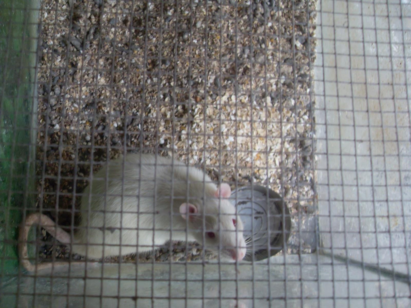 Malaysia, Penang~~Hamster For Wholesale and Sale 售賣倉鼠: 白老鼠出售,Tikus Putih untuk dijual
