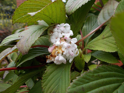 Viburnum Bodnantense Dawn Green Fingered Blog