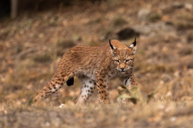 Λύγκας: Το εξαφανισμένο στην Ελλάδα άγριο θηλαστικό, στον Αρκτούρο