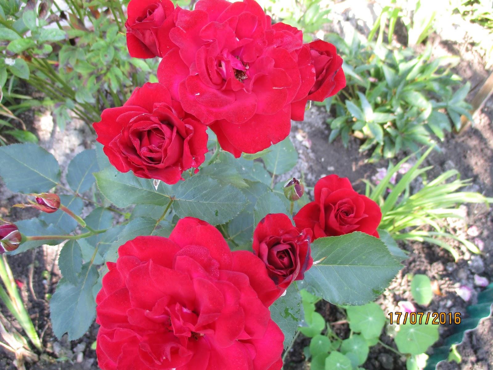 beaut s florales rosier 39 nina weibull 39. Black Bedroom Furniture Sets. Home Design Ideas