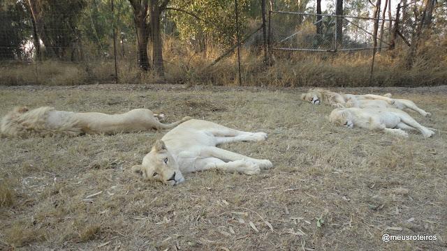 Leões no Lion Park - Joanesburgo