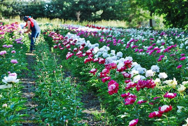 odmiany piwonii, peony Max, zielona metamorfoza, pogrody wiejskie, projektowanie ogrodów