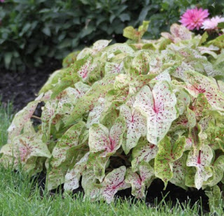 Caladium Miss Muffett