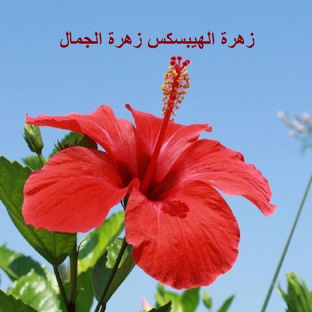 زهور نبات الهيبسكس